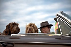 Dogs in car with owner, one gear away from a successful long distance pet relocation.