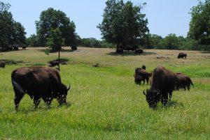 Buffalos on a prarie in Oklahoma.