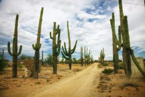 Cactus on desert road