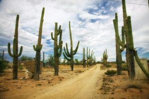 Cactus on desert road