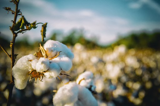 Cotton in Alabama