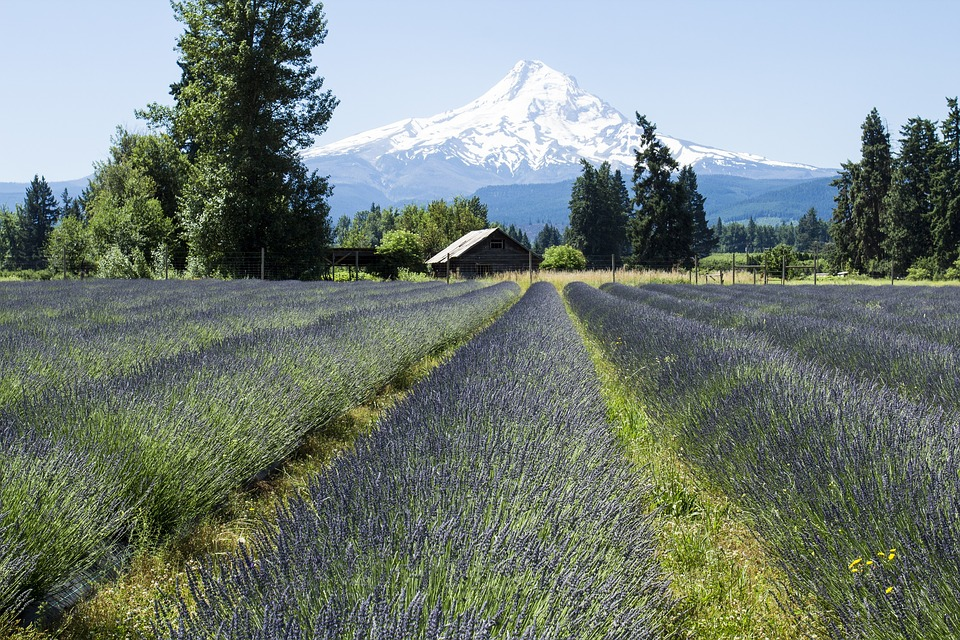 Lavender fields in Oregon