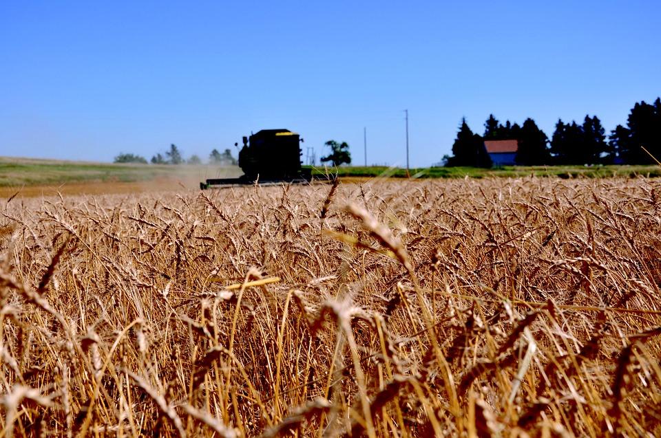 Wheat field in North Dakota