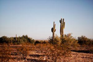 Cactus in a desert