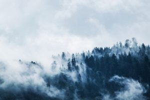 Green pine trees covered by fog