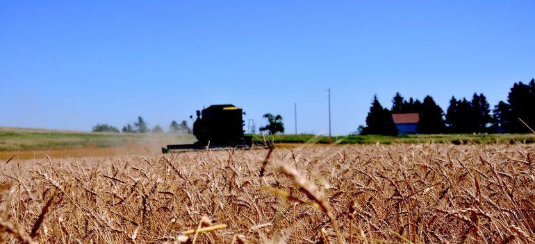 A wheat field in North Dakota