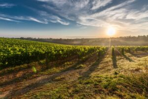 wine yard at sunset you can visit after moving from Kentucky to California