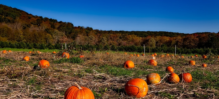 pumpkins on a field in Connecticut depicting one of the top states people will be moving from in 2021